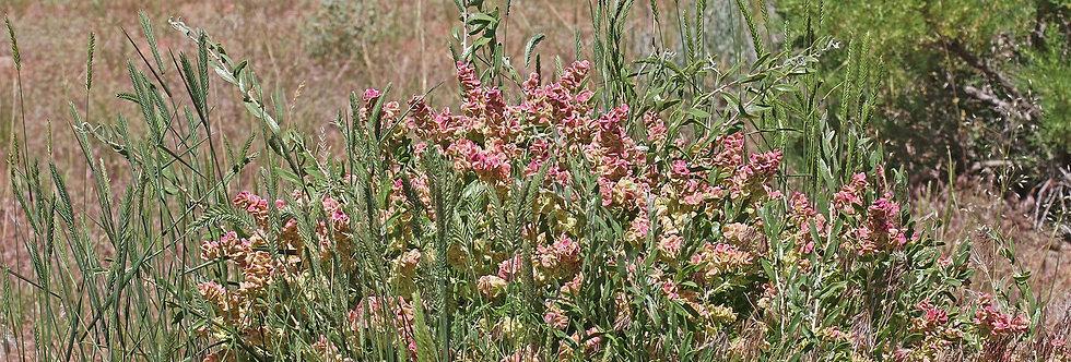 Spiny Hopsage (Grayia spinosa)