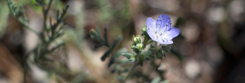 Common Phacelia (Phacelia distans)