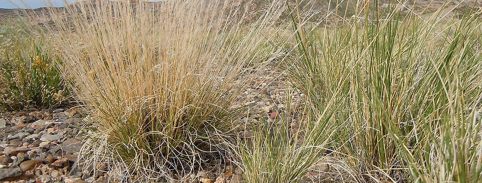 Purple Theeawn (Aristida purpurea)