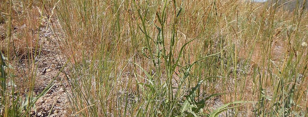 Tapertip Hawksbeard (Crepis acuminata)