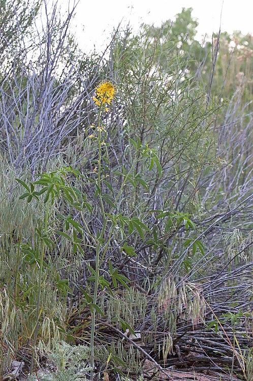 Yellow Beeplant (Cleome lutea)