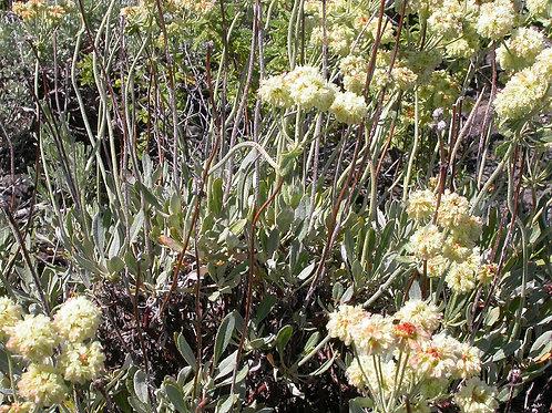 Sulfurflower Buckwheat (Eriogonum umbellatum)