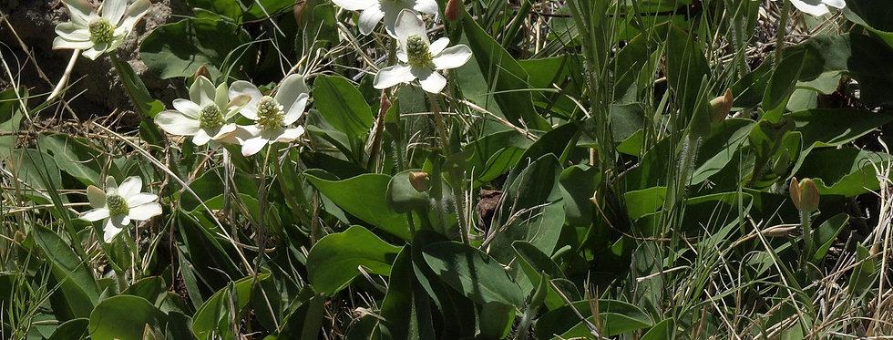 Yerba Mansa (Anemopsis californica)