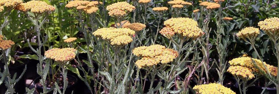 Western Yarrow (Achillea millefolium)