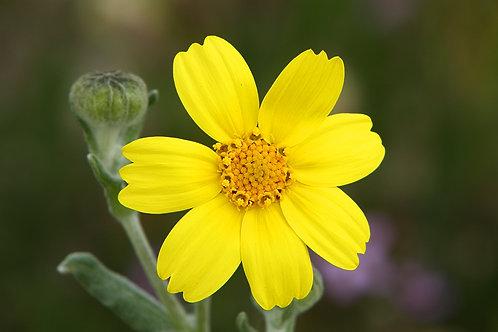 Hillside Daisy (Monolopia lanceolata)