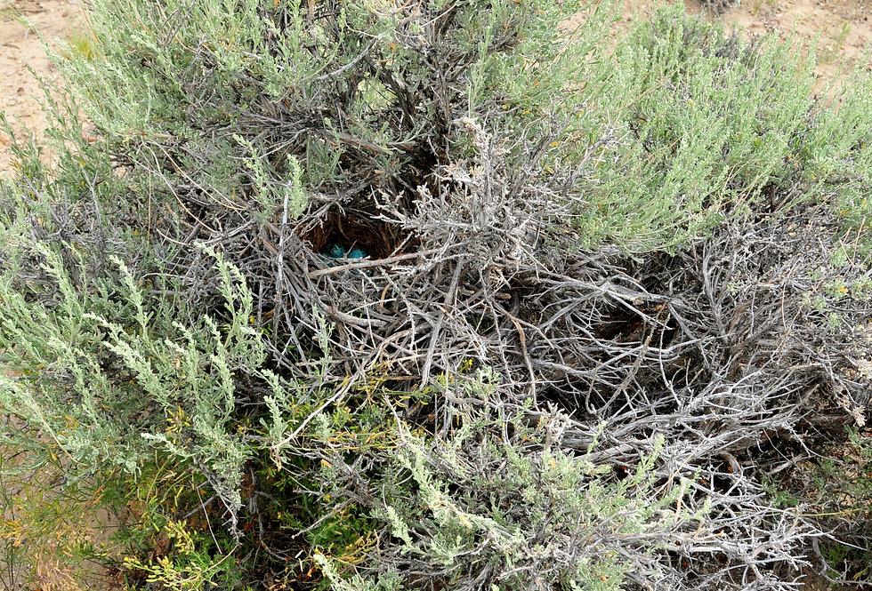 Basin Big Sage (Artemesia tridentata tridentata)