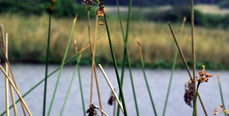 Hardstem Bulrush (Schoenoplectus acutus)