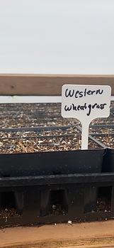 Western Wheatgrass - Pascopyrum smithii.