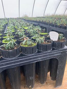Curleaf Mahogany - Cercocarpus ledifoliu