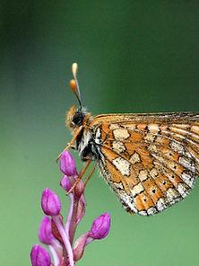papillon , cohons ,haute-marne