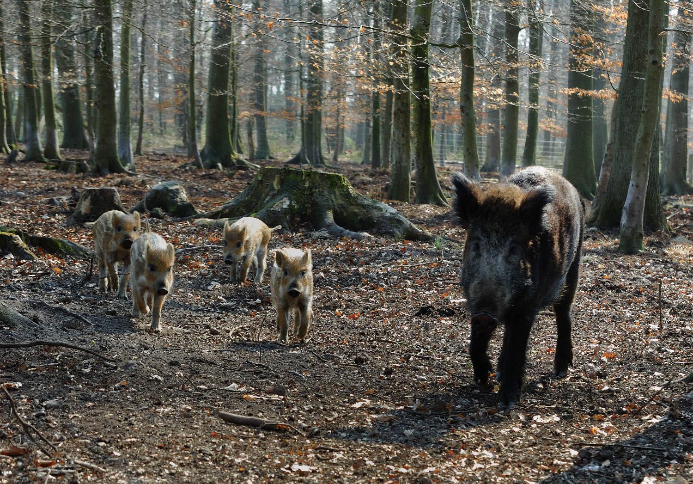 wildschweinfuetterung