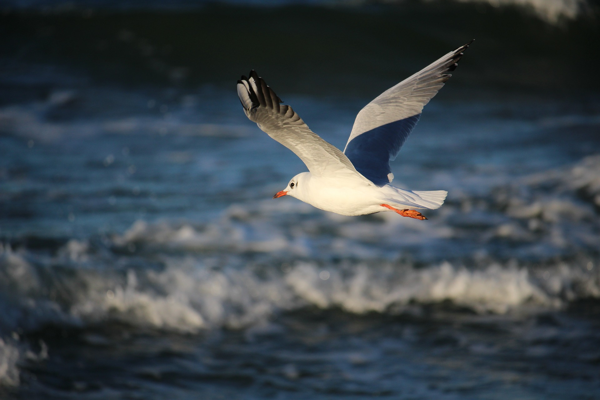 seagull-2242933_1920