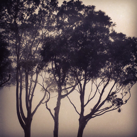 fog trees