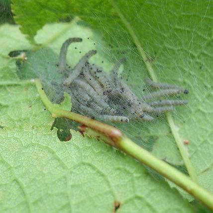 Caterpillars of the Bird Cherry Ermine M