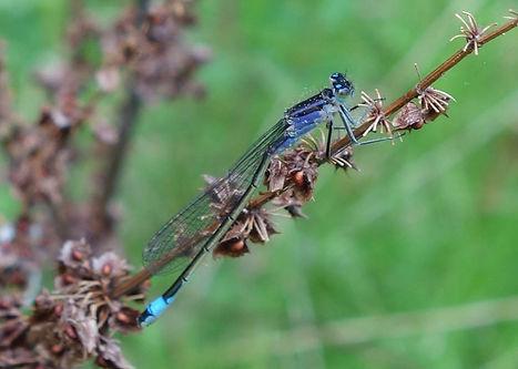 Blue-tailed damselfly.jpg