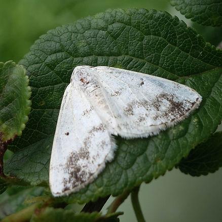 Clouded Silver Moth .jpg