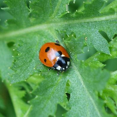 Seven Spot Ladybird .jpg