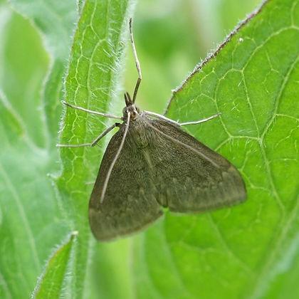 Micromoth Anania fuscalis .jpg
