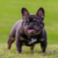Lilac and Tan French Bulldog puppies for sale