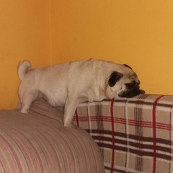 #relax #sleep #dog #pug #ginger #rainbow