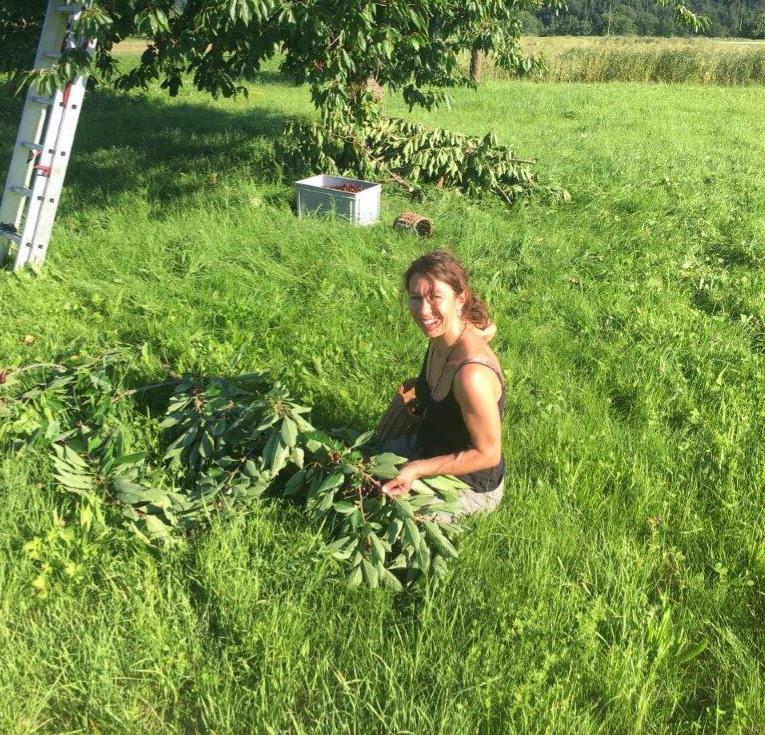 Kirschenpflücken auf dem Feld in Dittingen