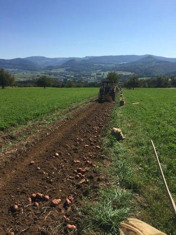 Kartoffelernte auf dem Dittinger Feld