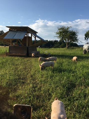 Unsere Bioschweine auf dem Dittinger Feld