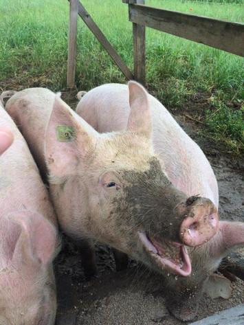 Bioschweinli