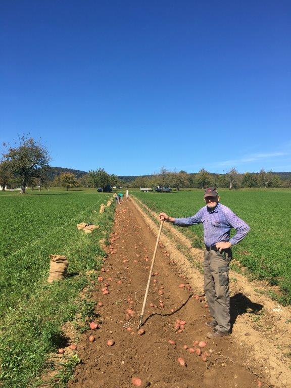 Kartoffeln auf dem Dittinger Feld