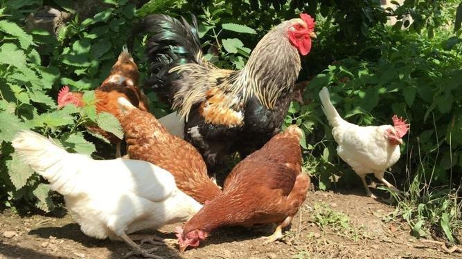 Unser Güggel und seine Hühner