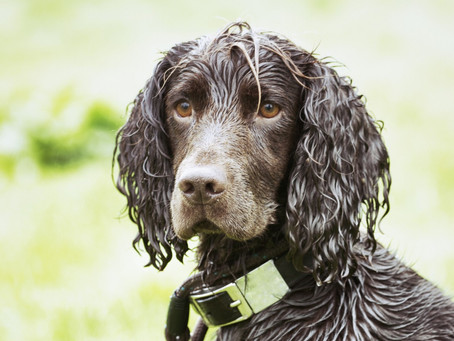 We need to stop walking our Spaniels