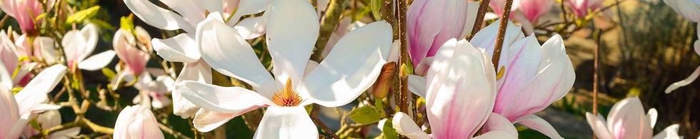 magnolia_frange_modifié.jpg
