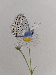 Common  Blue Butterfly .jpg