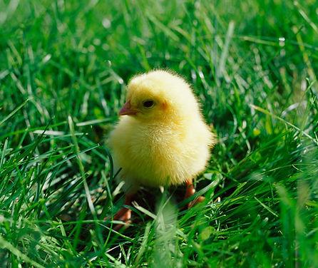 Chick_edited.jpg