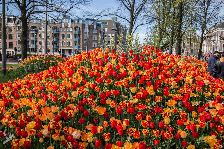 Tulip's season