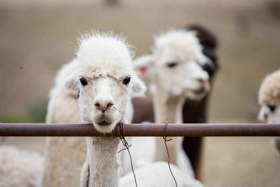 Shawn Alpaca Animal Portrait