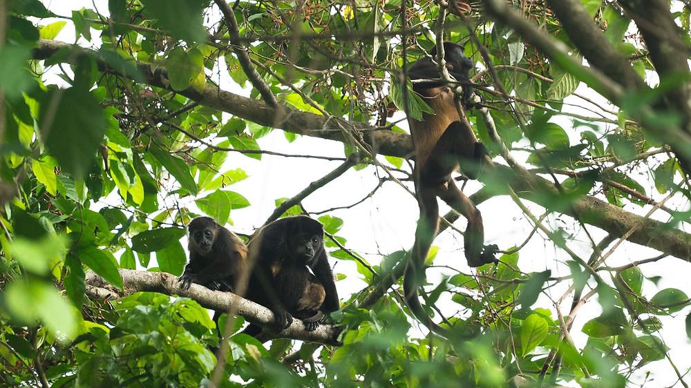 Group of howler monkeys
