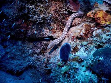 Serpentine / Snake eel