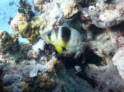 Poisson-diving.jpg