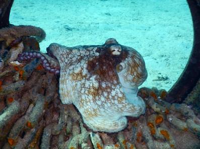 poulpe-octopus.jpg