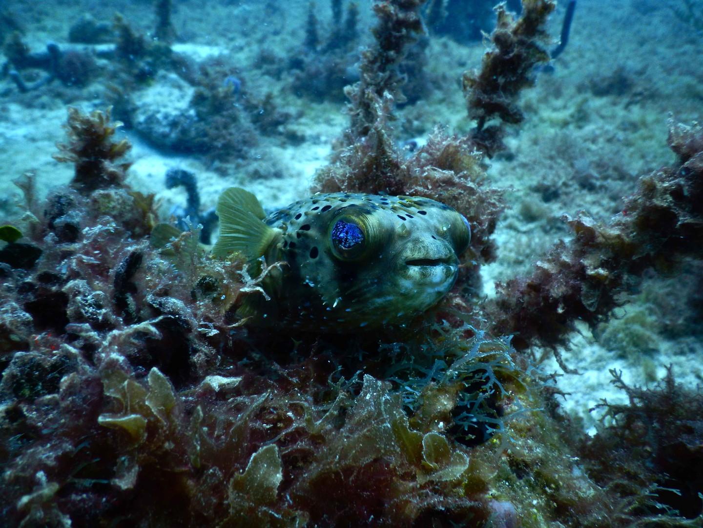 poisson-diodon.jpg