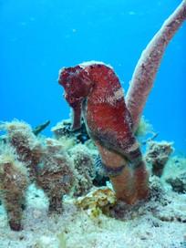hippocampe-seahorse.jpg