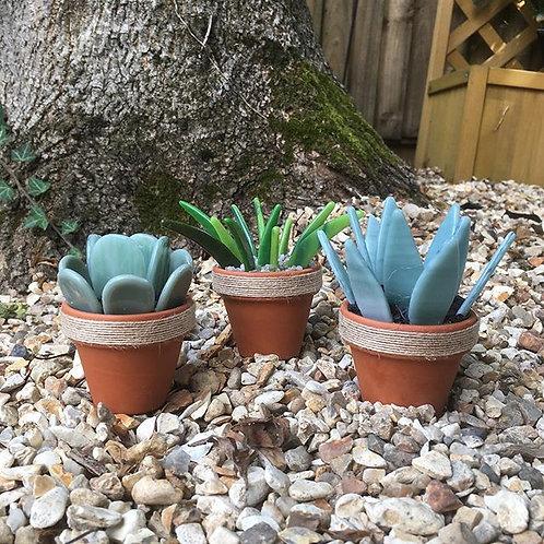Succulents - Various