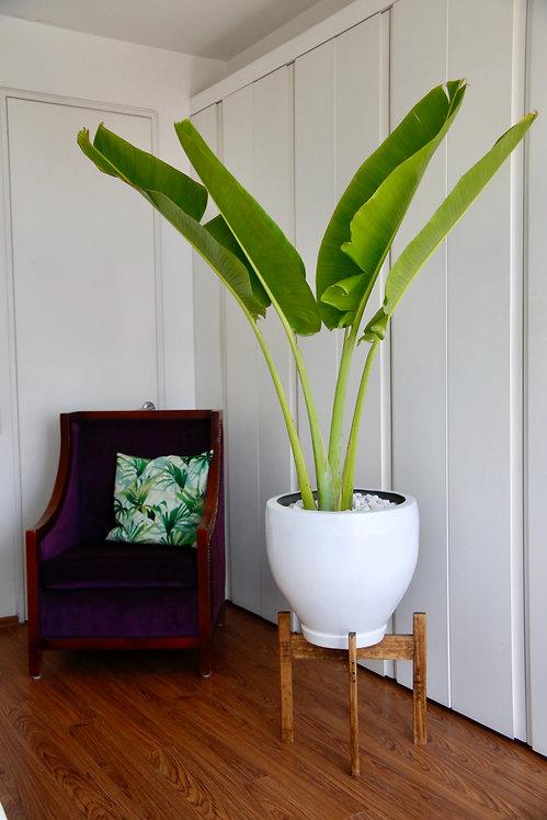 Palma de Plátano
