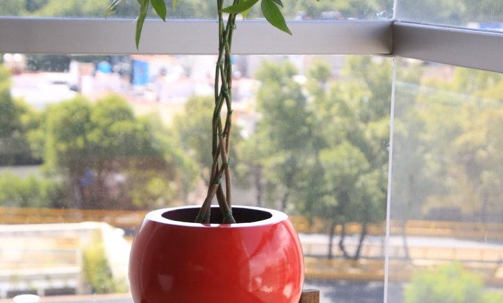 Árbol de Pachira Mediano