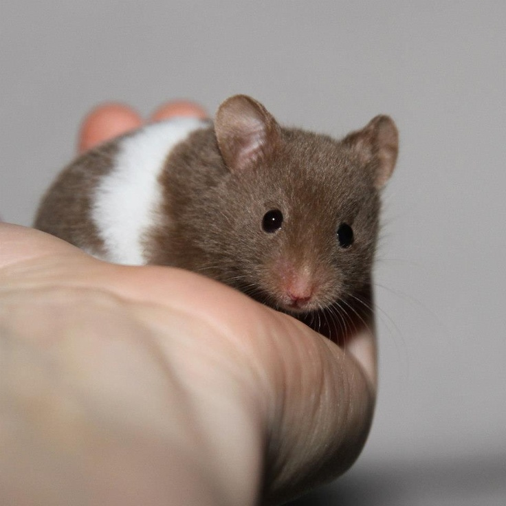 Syrian Hamster | hamsters