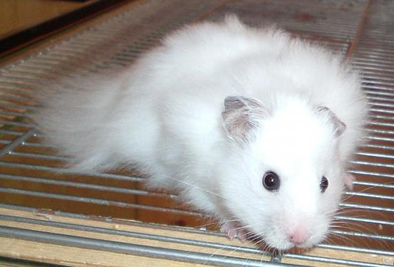Syrian Hamster | hamsters