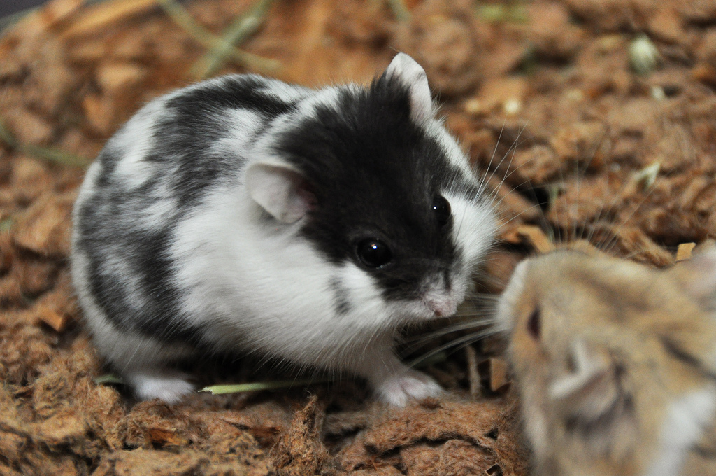 Campbell's Russian Dwarf | hamsters