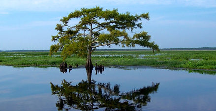 Balmoral tree in the marsh reflecting on the water