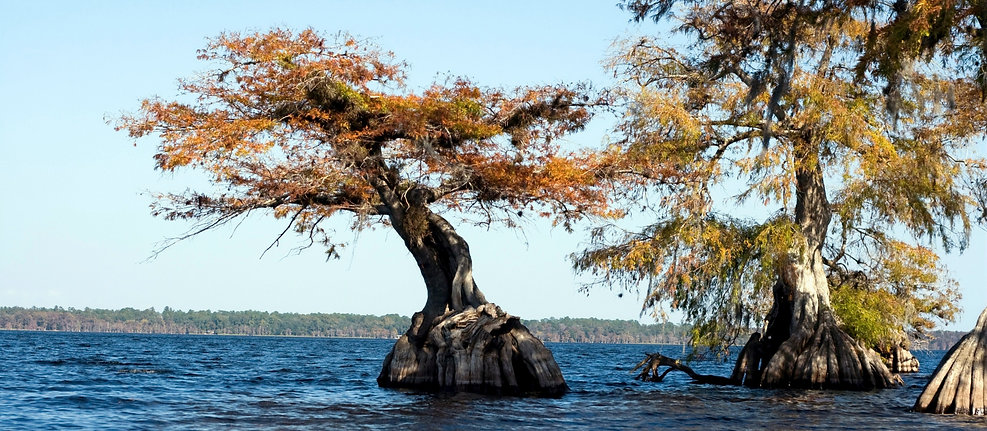 Balmoral tree in the water